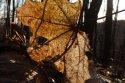 javorové slnko